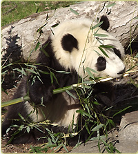Panda at National Zoo